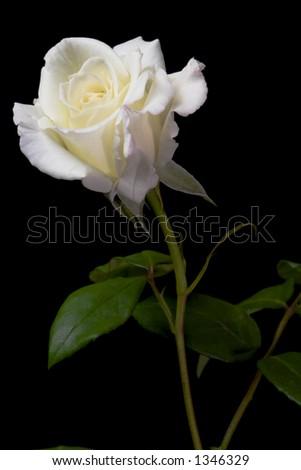 White Rose 2 - stock photo