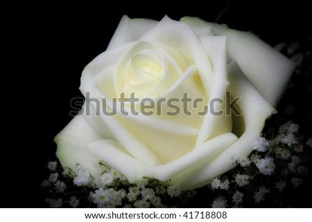 White rose - stock photo