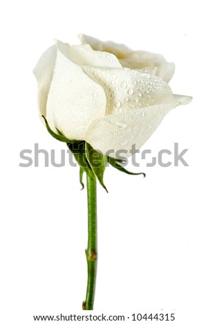 White rose flower close-up isolated on white background - stock photo