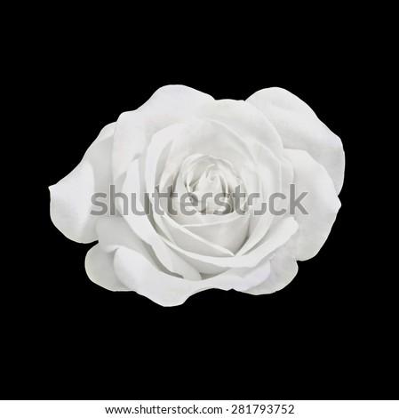 White rose flower, close up, petals, black background. - stock photo