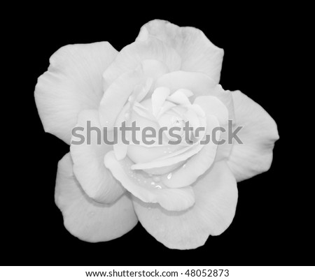 White rose flower with water droplets on black background - stock photo