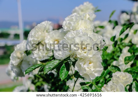 White rose in the garden,gentle caressing rose flower under spring sun . decoration , floral , wedding,White rose in the garden,Close-up image of White rose - stock photo