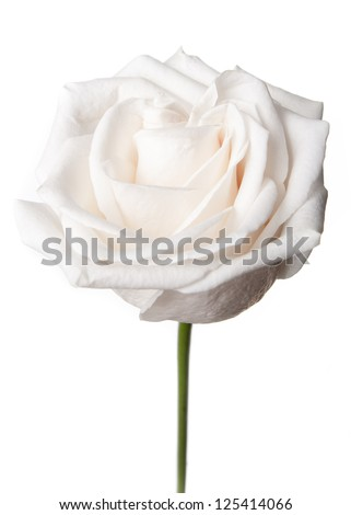 White rose isolated on white background - stock photo