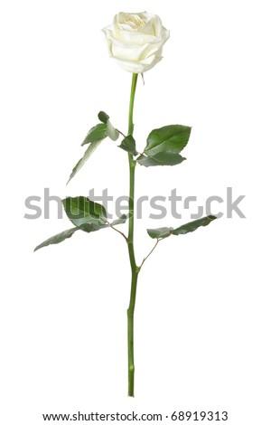 White rose isolated on white background, long stem - stock photo