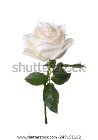 White rose on a white background. - stock photo