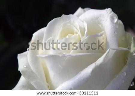 white rose on black - stock photo