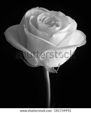 White rose on black background - stock photo