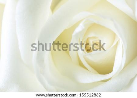 White rose petals, Macro - stock photo