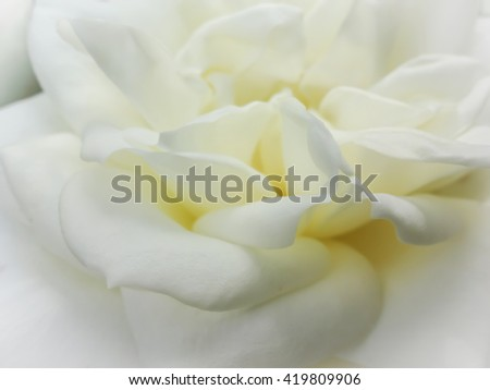White Rose soft focus