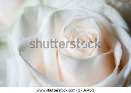 white rose under natural light - stock photo