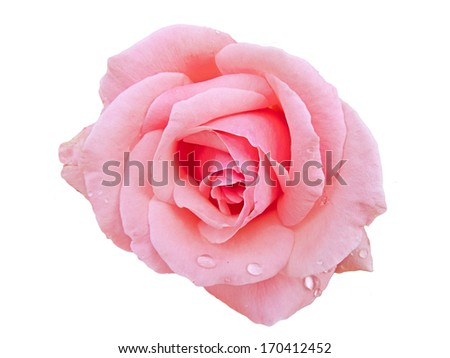 White rose with rain drops - stock photo