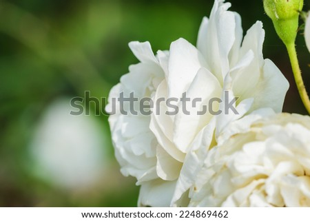 WHITE ROSES BACKGROUND IN THE GARDEN - stock photo