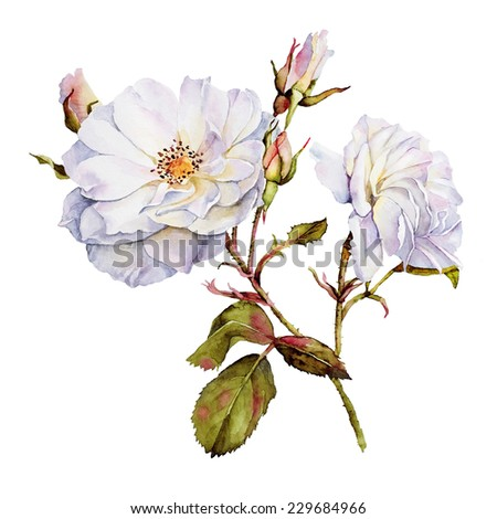 White roses bush botanical watercolor drawing - stock photo