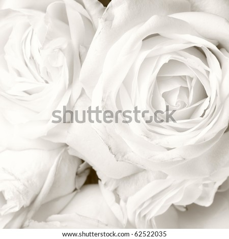 White roses in close up - romantic background - stock photo