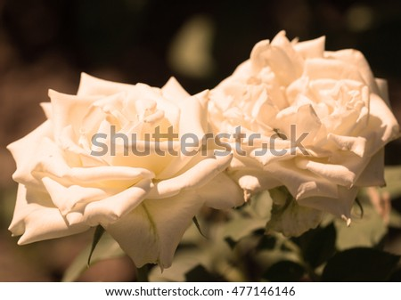 White roses on the bush