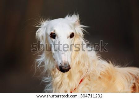 White Russian Wolfhound Dog, Borzoi, Russian Hunting, Sighthound, Russkaya Psovaya Borzaya, Psovoi. Spring Autumn Time, Outdoors Close Up Portrait . Spring Autumn Time, Outdoors Close Up Portrait - stock photo