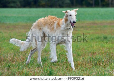 White russian wolfhound dog on a green grass