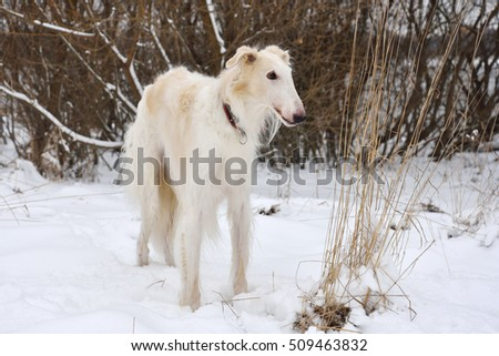 White russian wolfhound standing on a winter snow