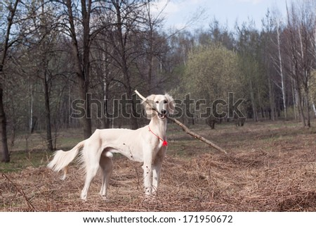 White saluki holding a stick in its mouth
