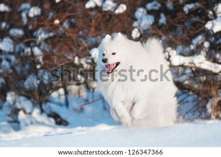 white samoyed dog running in winter - stock photo