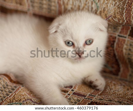 White Scottish fold kitten is lying on the floor and looks attentive.Rare coloring - a silvery chinchilla