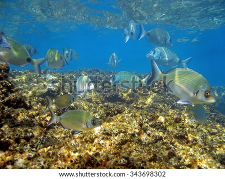White seabream underwater school of fish swimming over rocky seabed, Mediterranean sea, Balearic Islands, Majorca, Spain - stock photo