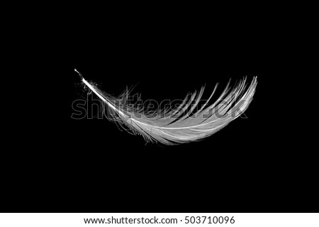 white seagull feather isolated on black background