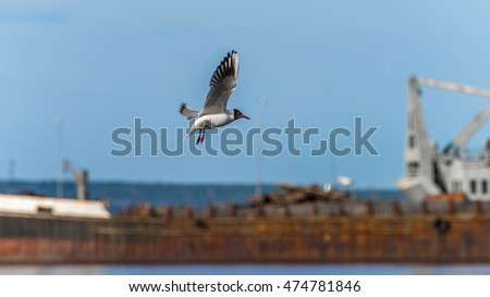 White seagull flying  with wings spreaded
