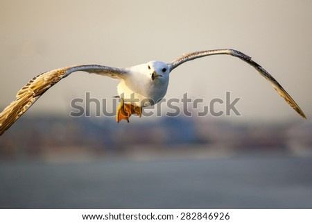 White seagull soaring  - stock photo