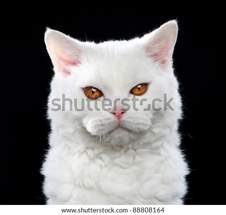 White Selkirk rex cat with orange eyes, isolated on black background - stock photo