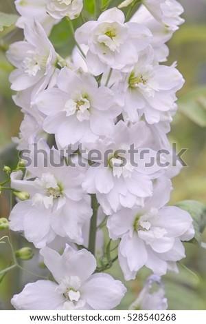 White semi double flowers larkspur galahad stock photo royalty free white semi double flowers of larkspur galahad delphinium elatum pacific hybrids mightylinksfo