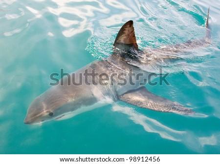 White shark, Carcharodon carcharias. - stock photo