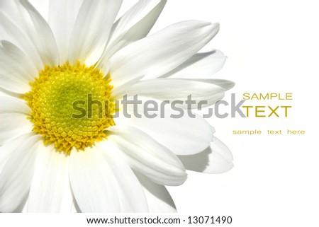 White Shasta daisy on white background - stock photo