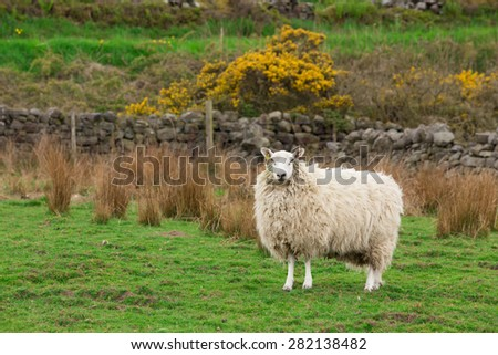 White Sheep ewe hog stood on spring grass in a farm field - stock photo