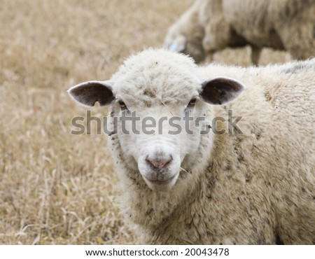 White sheep in autumn field - stock photo