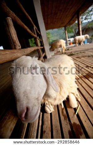 white sheep lying on the ground. - stock photo