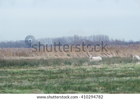 White sheep on farm pasture with long grass - stock photo