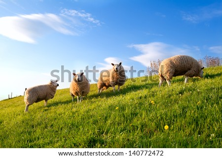 white sheep on spring sunny green pasture over blue sky - stock photo