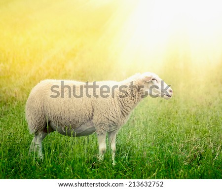 White sheep on sunny field - stock photo