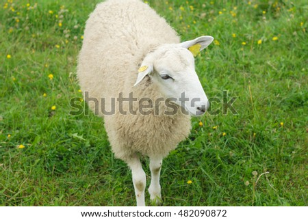 white sheep standing in meadow green field