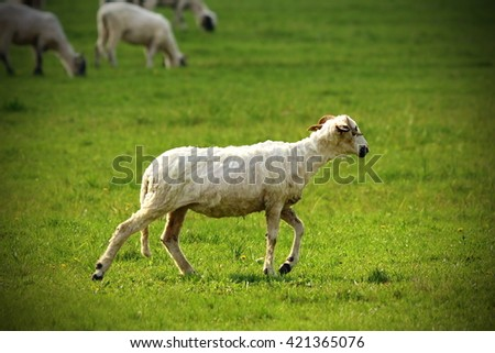 white sheep walking on green lawn near the farm in the beautiful light of sunset - stock photo