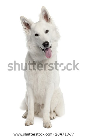 White Shepherd Dog (9 months old) in front of a white background - stock photo