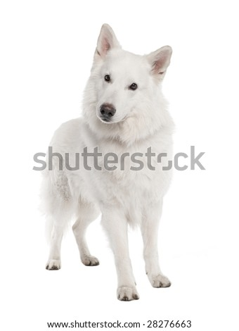 White Shepherd Dog (6 years old) in front of a white background - stock photo