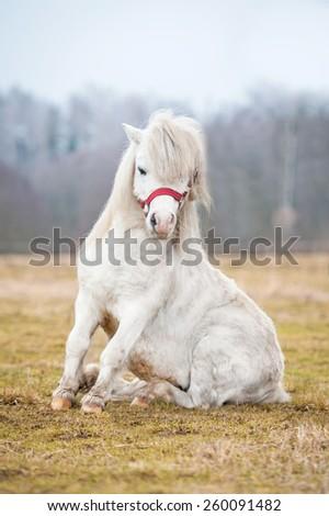 White shetland pony making a trick - stock photo