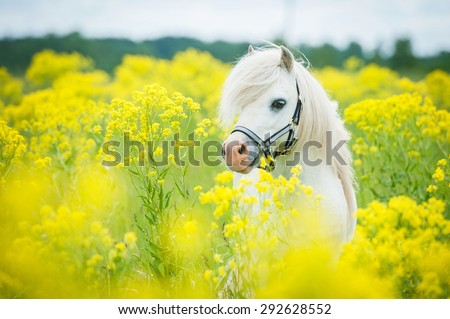 White shetland pony on the field with yellow flowers - stock photo
