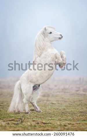 White shetland pony rearing up in the fog