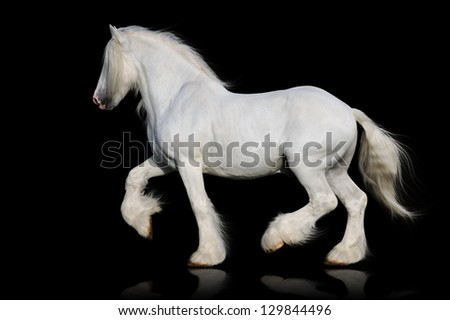 White shire horse isolated on the black