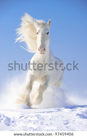 White Shire horse stallion runs gallop in front focus - stock photo