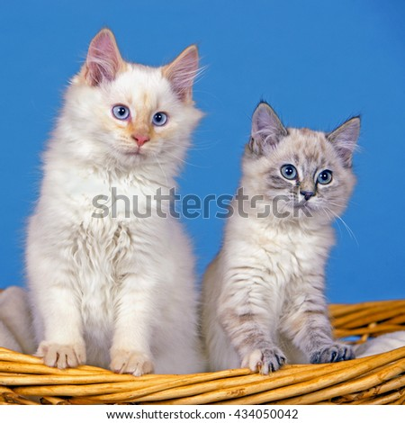 White Siamese and gray tabby Kitten together in willow basket.