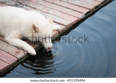 White siberian husky dog lying and drinking water from koi pond